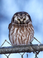 Boreal Owl on Fence