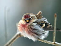 Common Redpoll at -40 F