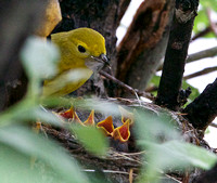 Yellow Warbler Feeding Chicks