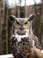 Gandalf, the Great Horned Owl