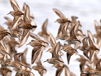Western Sandpipers in Flight