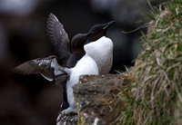 Common and Thick-billed Murre