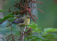 Orange-crowned Warbler (Imm)