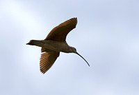 Long-billled Curlew
