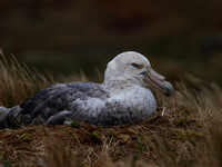 Albatrosses, Shearwaters & Petrels