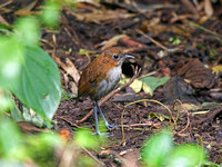 White-breasted Antpitta