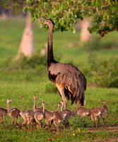 Greater Rhea with Hatchlings