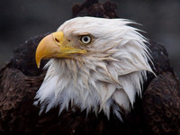 Bald Eagle Portrait III
