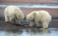 Cubs Playing with Driftwood