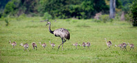 Greater Rhea and Chicks